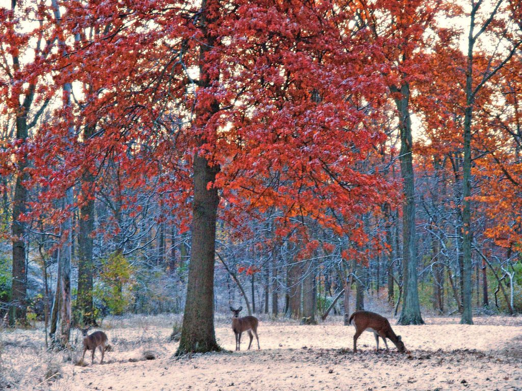 Changing Leaves and Deer