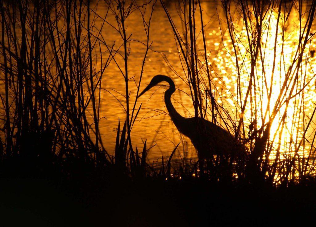 Crane in Marsh
