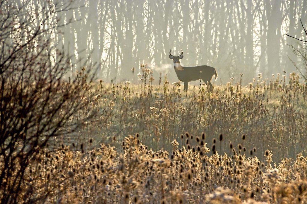 Distant Buck