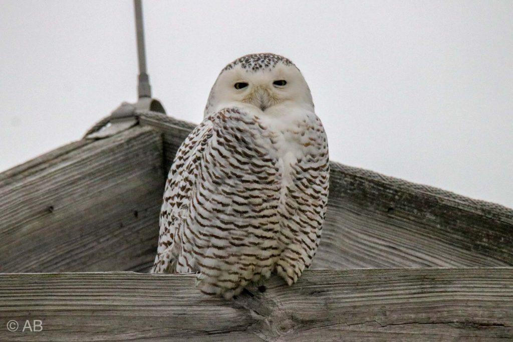 Snowy Owl -MBSP